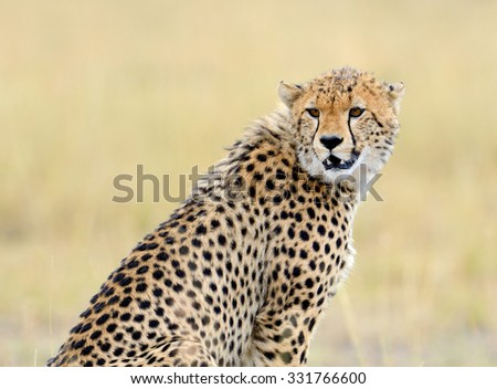 Wild african cheetah, beautiful mammal animal. Africa, Kenya - stock photo