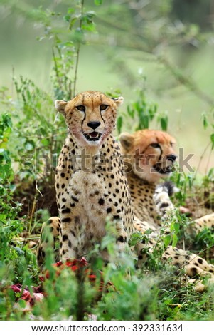 Wild african cheetah hiding in the bushes - stock photo