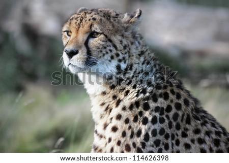 Wild african cheetah hunting prey - stock photo