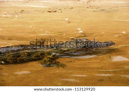 wild african crocodile in yellow water of Zambezi river(Zimbabwe) - stock photo