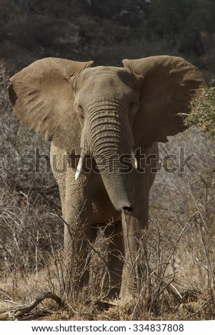 Wild African Elephant - stock photo