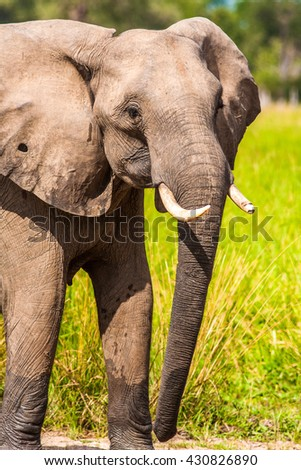 Wild African elephant at a waterhole - stock photo