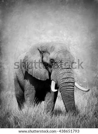 Wild African elephant in black and white