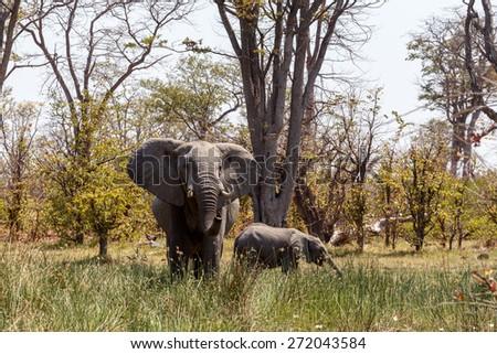 Wild African Elephant Moremi Game reserve, Okawango Delta, Botswana - stock photo