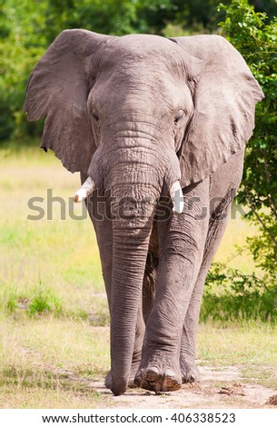 Wild African elephant walking towards the viewer