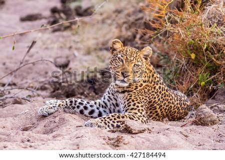 Wild African Leopard sitting down - stock photo