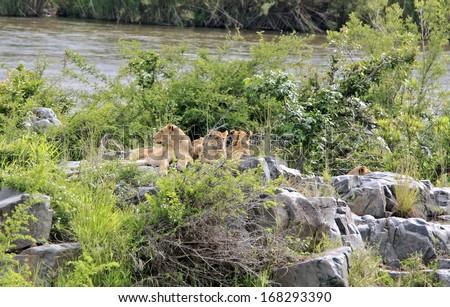 Wild african lion pride - stock photo
