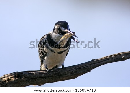 Wild african pied kingfisher - stock photo