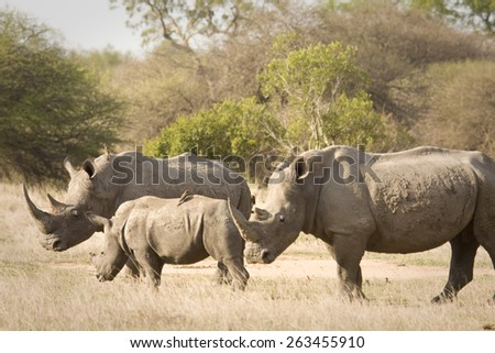 wild african white rhinoceros in the bush, Kruger national park, South Africa - stock photo