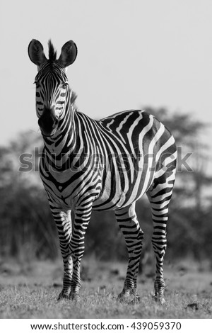 Wild African zebra in black and white - stock photo