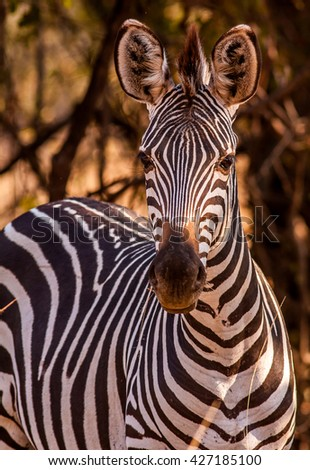 Wild African Zebra looking at the camera - stock photo