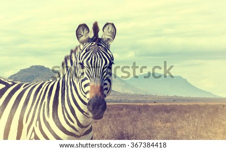 Wild african zebra. Vintage effect. National park of Kenya, Africa - stock photo