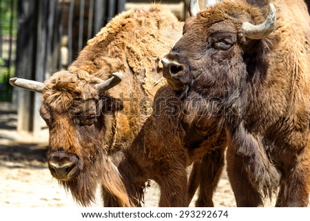 Wild America Bison - a huge pair of mature bulls in the summer during the summer molt