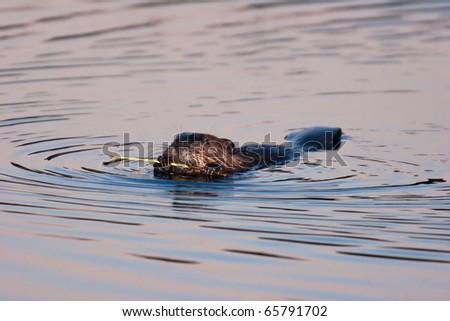 American beaver diet