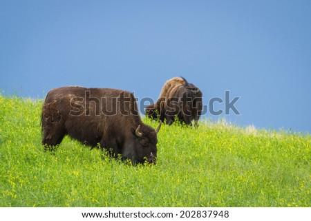 wild american buffalo in the grasslands of South Dakota - stock photo