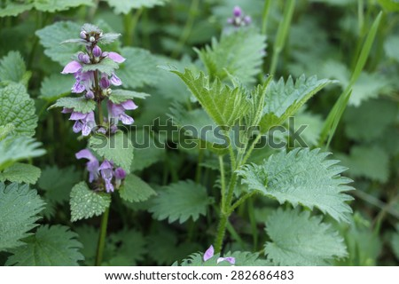 Wild and domestic nettle