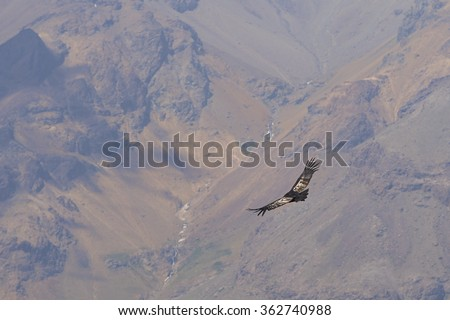 Wild Andean Condor (Condor Vultur gryphus) flying against a background of the Andes Mountains near Santiago in Chile. - stock photo