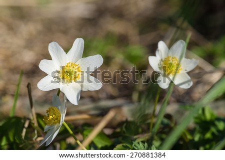 Wild anemone flowers close-up in natural surroundings - stock photo