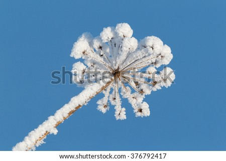 Wild angelica (Angelica sylvestris) head covered with snow against clear blue background.