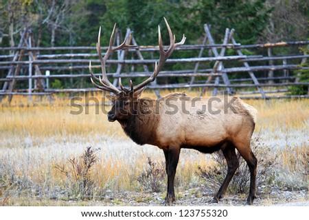 Wild animal Elk - stock photo