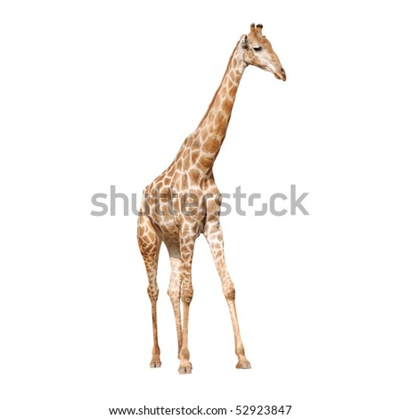 wild animal giraffe isolated