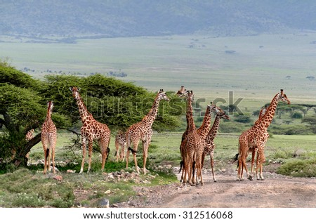 Wild animals of Africa, a herd of giraffes crossing the road in the Serengeti reserve. - stock photo
