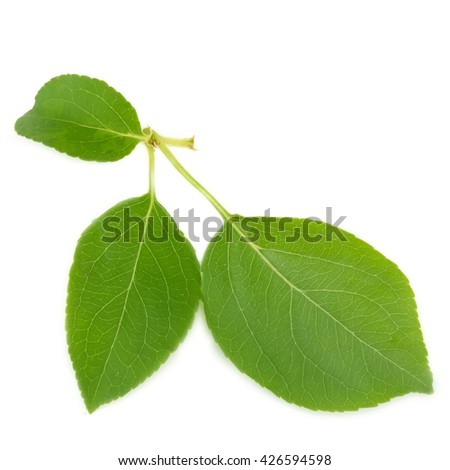 wild apple leaves on a white background - stock photo