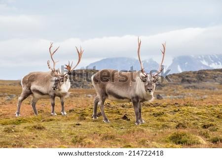 Wild Arctic reindeer in natural habitat - stock photo
