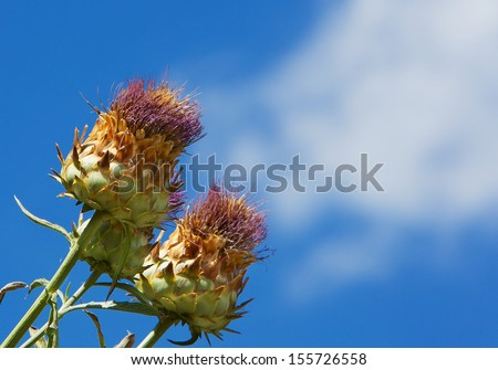 Wild Artichoke against a blue sky with white clouds - stock photo