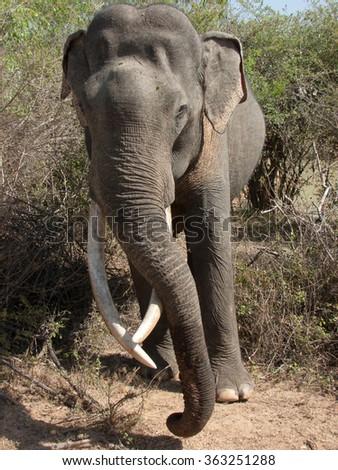 wild Asian elephant in the jungles of Sri Lanka - stock photo