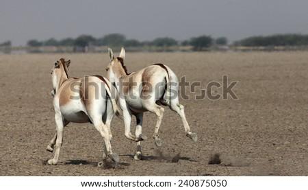 Wild Ass - stock photo