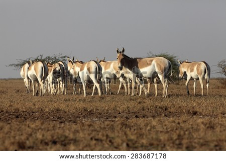 Wild Ass found in Little Rann of Kutch, India - stock photo