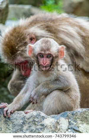 Wild baby japanese Macaque (Macaca Fuscata) or Snow monkey. Jigokudani, Nagano Prefecture, Japan