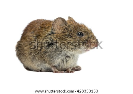 Wild Bank vole mouse (Myodes glareolus) sitting on four legs seen from the side on white background