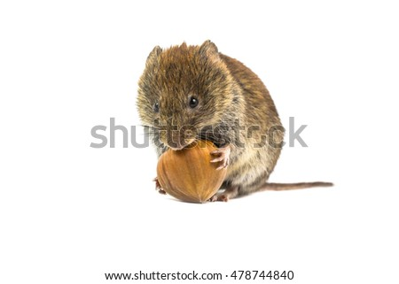 Wild Bank vole mouse (Myodes glareolus) sitting on hind legs and trying to open and eat hazelnut on white background
