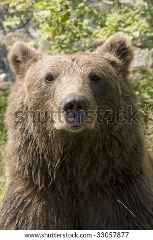Wild Bear Portrait