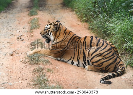 Wild Bengal tiger lying down blocking the road to forest in a national park in Karnataka India. Adventure safari trip through dense forest path. - stock photo