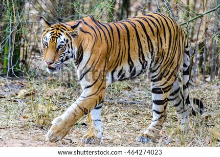 Wild Bengal Tiger (Panthera Tigris Tigris) in a bamboo forest area in Bandhavgarh national park, madhya pradesh India.