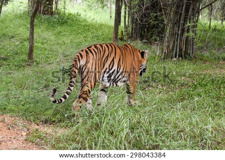 Wild Bengal tiger walking back to forest in a national park in Karnataka India. Adventure safari trip through dense forest path. - stock photo