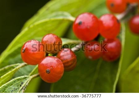 wild berries - stock photo