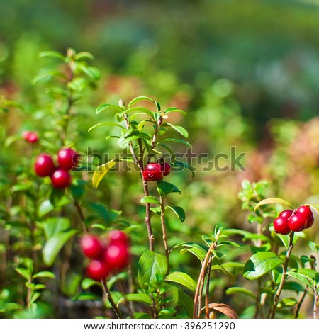 Wild berry cranberries growing in forest. Vaccinium vitis-idaea