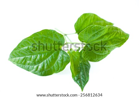 Wild Betel Leafbush , Piper sarmentosum Roxb on white background
