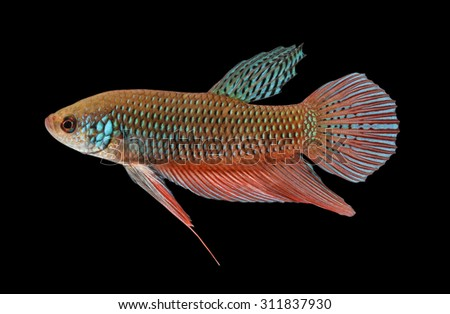 Wild betta stock images royalty free images vectors for Wild betta fish