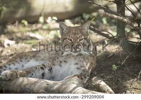 Wild big cat resting in the shadow under a tree - stock photo