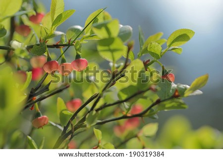 Wild bilberry bush growth in forest  - stock photo