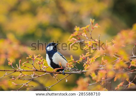 wild bird on the brunch of yellow tree,Japan. - stock photo