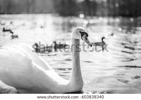 Wild birds in a lake in monochrome colors with a large white swan swimming in the cold water