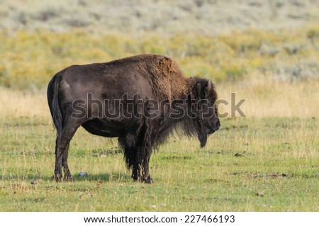 Wild Bison herd of Lamar Valley, Yellowstone National Park