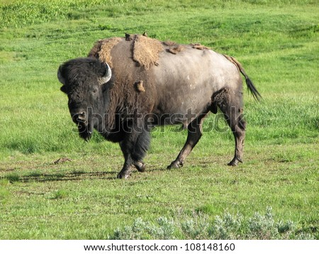 Wild Bison in Yellowstone National Park at Summer - stock photo