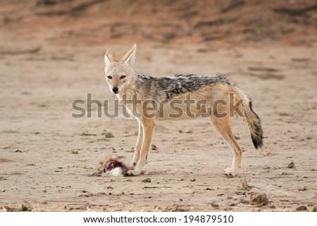 Wild Black-backed Jackal standing in the Kalahari eating a scrub hare - stock photo